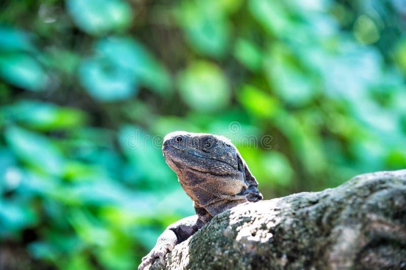 Eidechsenleguan, der auf grauem Stein in Honduras sitzt lizenzfreies stockfoto