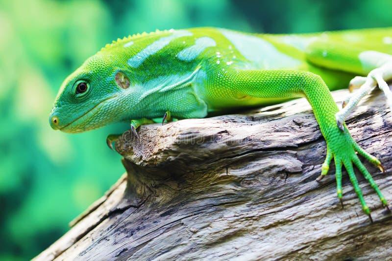 Eidechsennahes hohes Tierporträt lizenzfreie stockfotografie