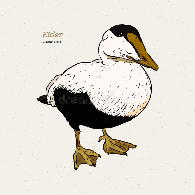Eider Duck is a large sea duck, vintage line drawing vector.  vector illustration