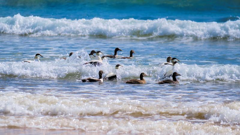 Eider ducks in the surf. Off Brora beach with soft sunshine bringing out their plumage royalty free stock images