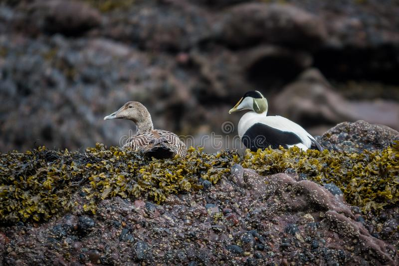 Eider male and female duck royalty free stock image