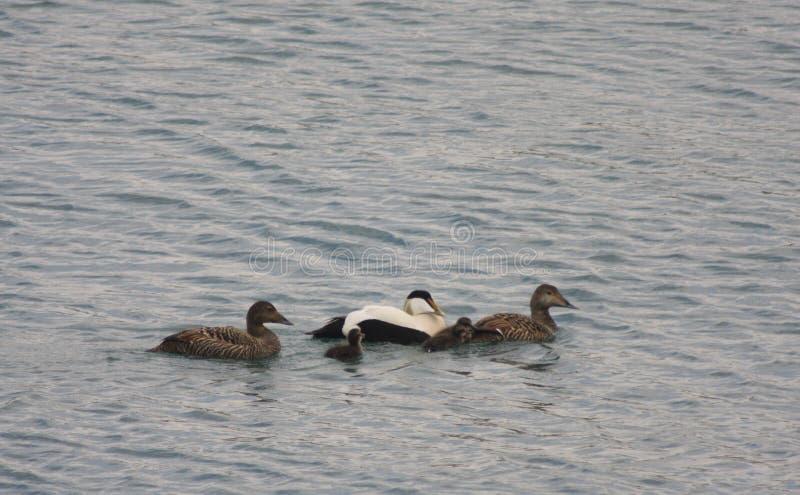 Eidereend Duck Family royalty-vrije stock foto