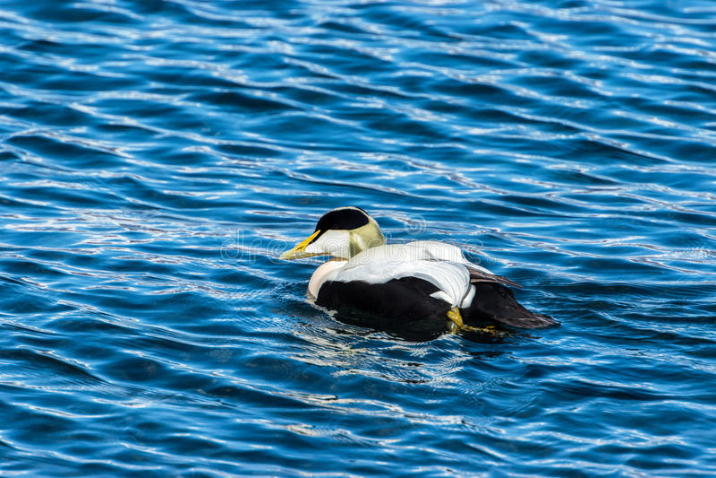 Eidereendeend op het overzees, IJsland stock afbeeldingen