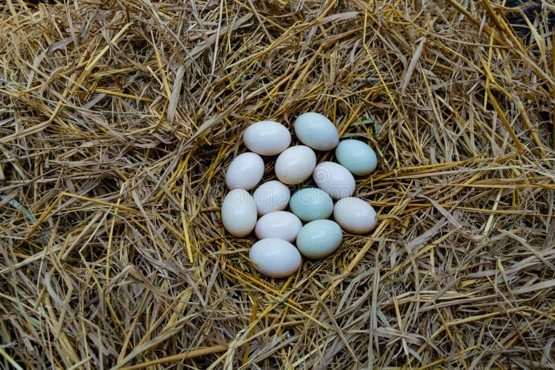 Eier setzten sich in das Stroh, weißes Entenei lizenzfreie stockbilder