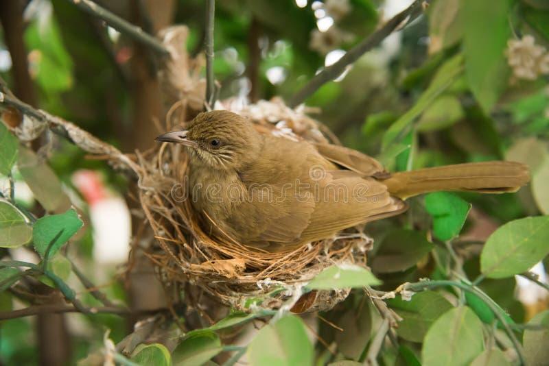 Eieren in het nest Bulbul stock afbeeldingen
