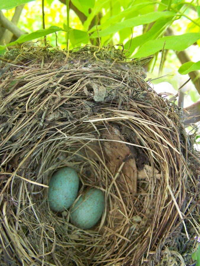 Eieren in het nest op de boom royalty-vrije stock afbeelding