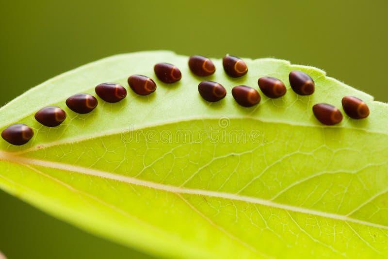 Eieren van insect op blad stock fotografie