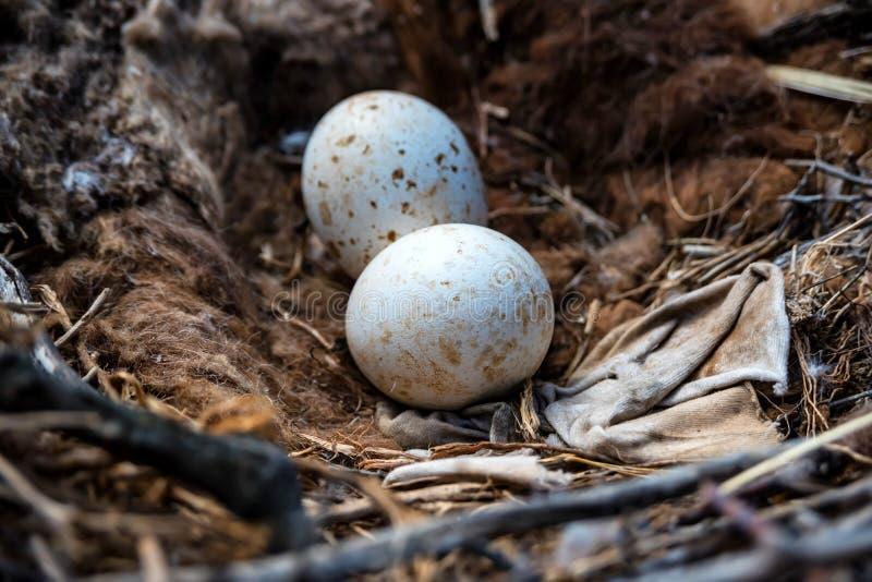 Eieren van Steppeadelaar of Aquila-nipalensis royalty-vrije stock afbeelding