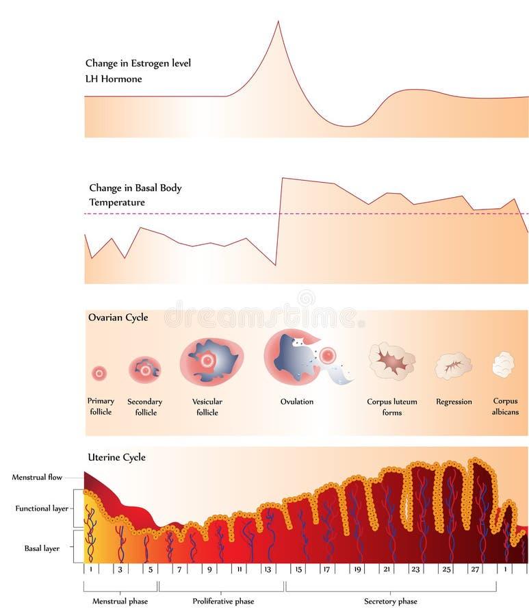 Eierstok en Baarmoedercyclus royalty-vrije illustratie