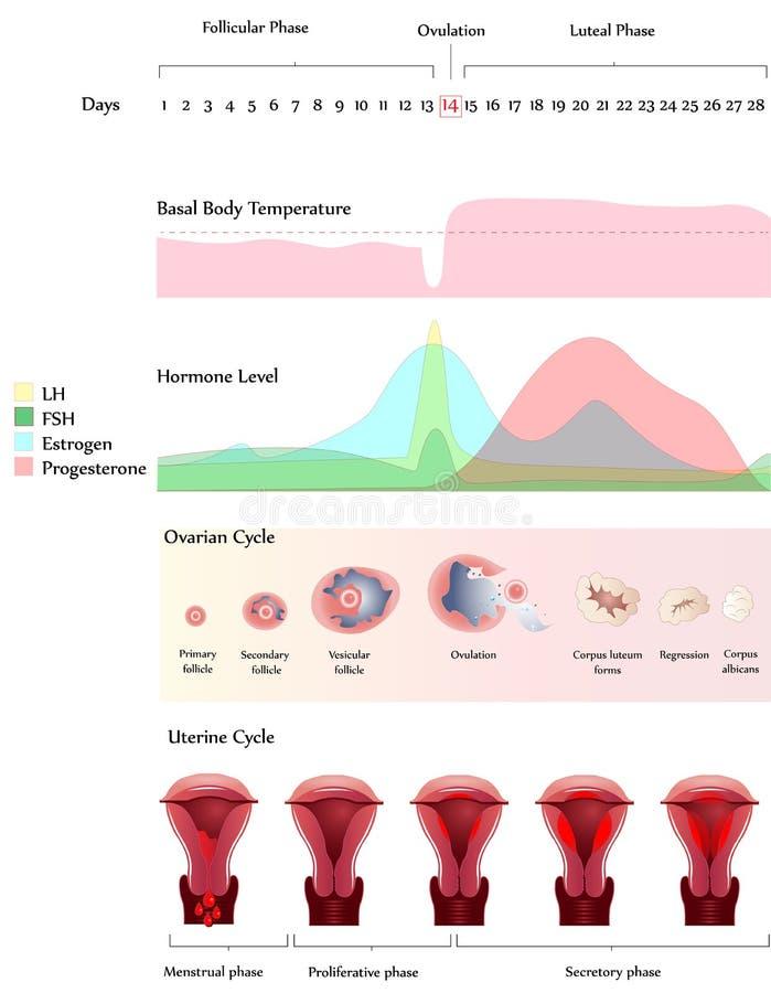 Eierstok en Baarmoedercyclus stock illustratie