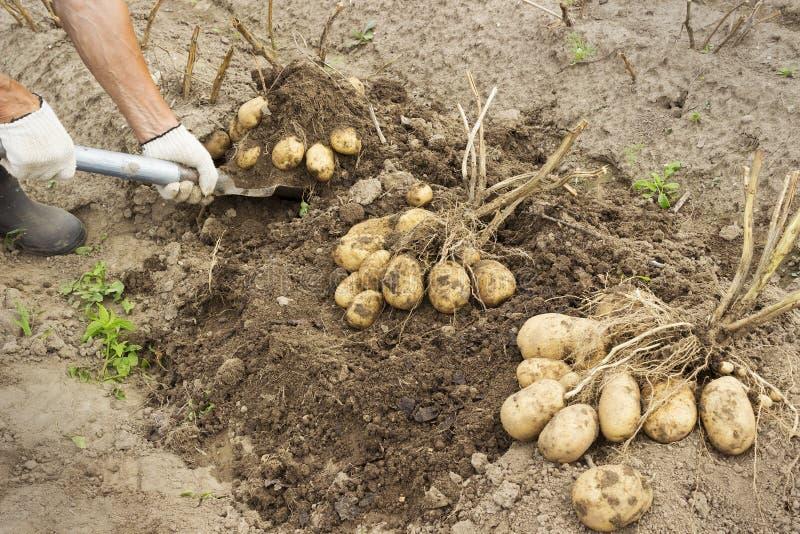 Eigenaar van een ranch het oogsten aardappel stock foto's