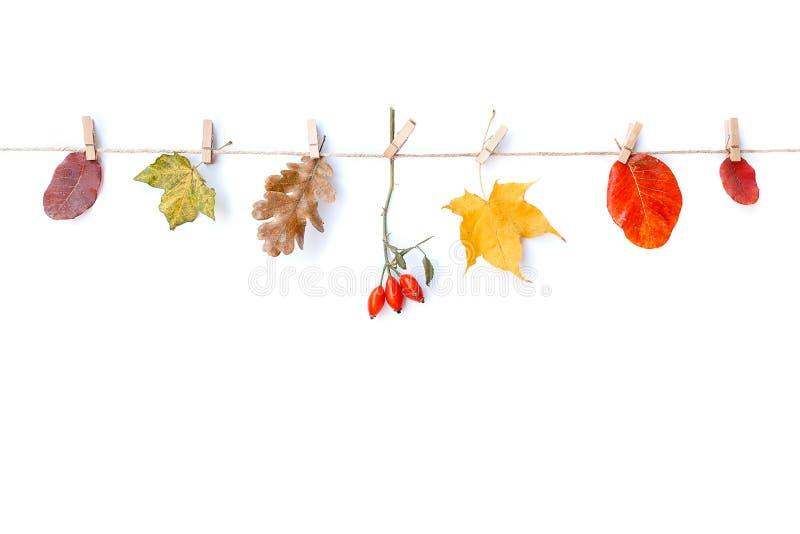 Eigener weißer Hintergrund Herbstblumen und Blätter, Rosenhippe Flachbildschirm, obere Ansicht, Kopierraum lizenzfreies stockbild