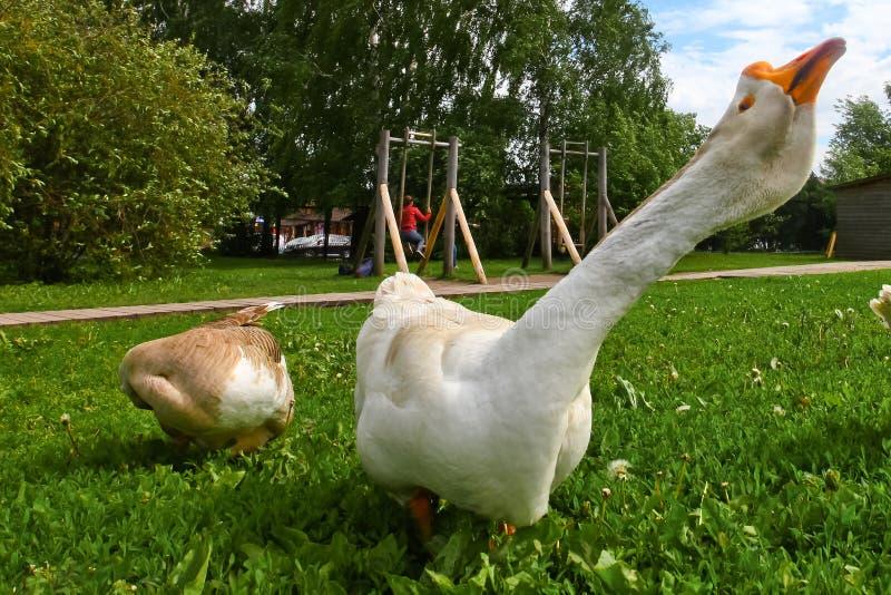 Eigengemaakte ganzen op een achtergrond van groen gras royalty-vrije stock foto