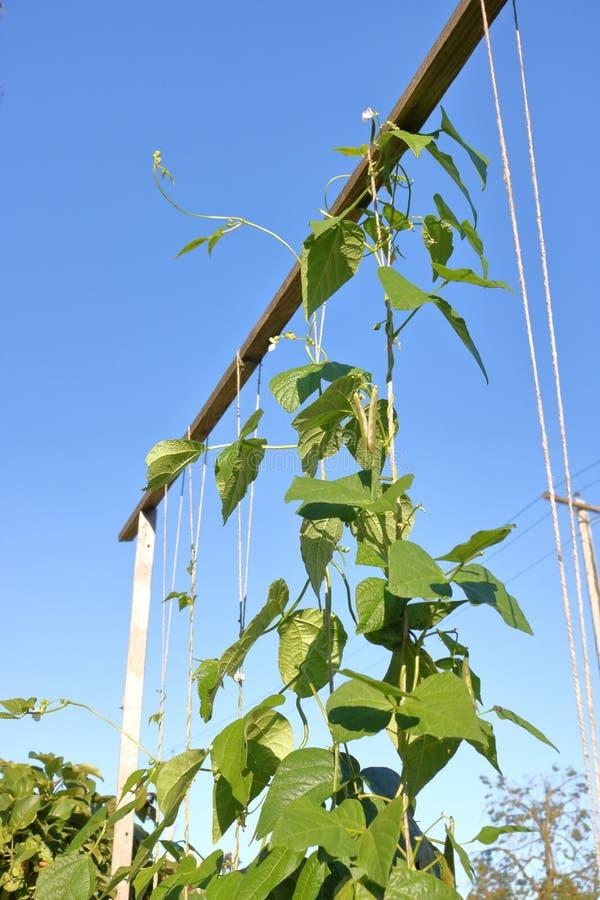 Eigengemaakte Tuin Bean Pole royalty-vrije stock afbeelding