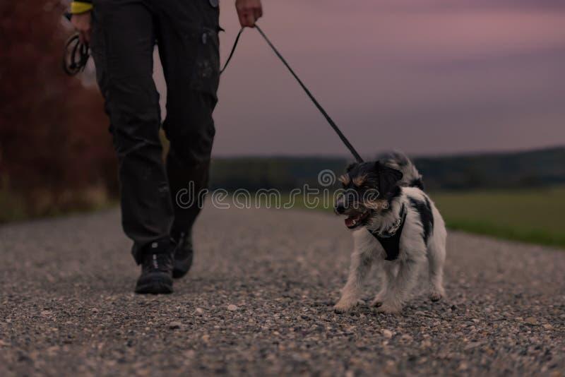 Eigentümer geht mit einem Hund, der in den Herbst in der Dämmerung mit gehörter Fackel - Steckfassungsrussell-Terrier geht lizenzfreie stockbilder