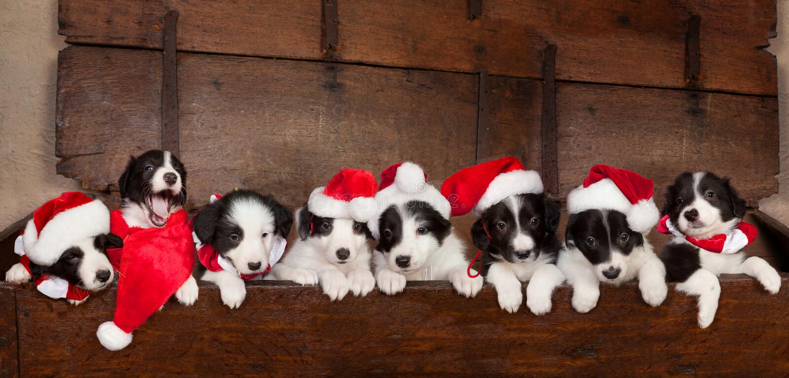 Eight christmas puppies. Eight little 5 weeks old border collie puppies with christmas santa hats royalty free stock images