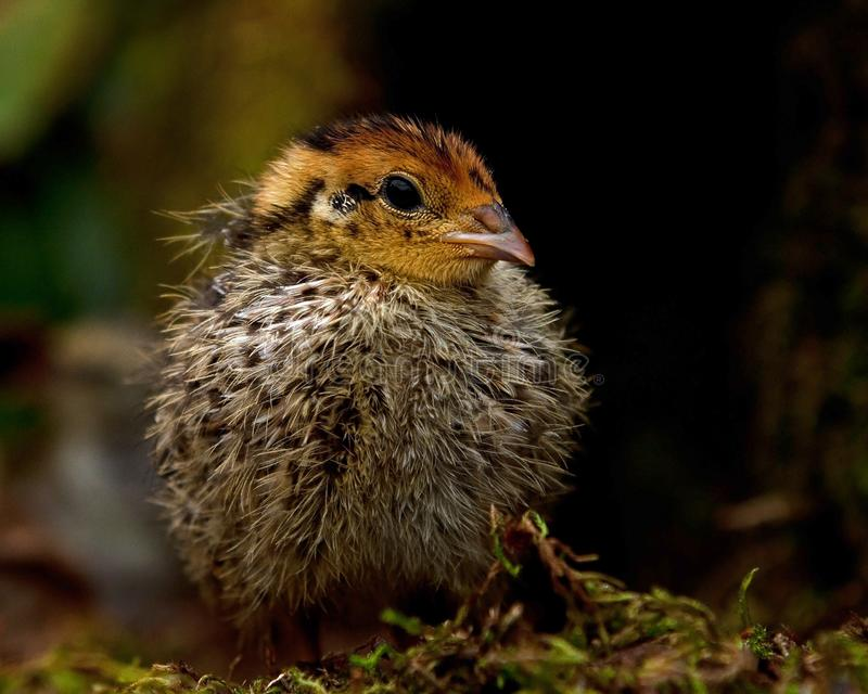 Eight days old quail, Coturnix japonica.....photographed in nature royalty free stock images