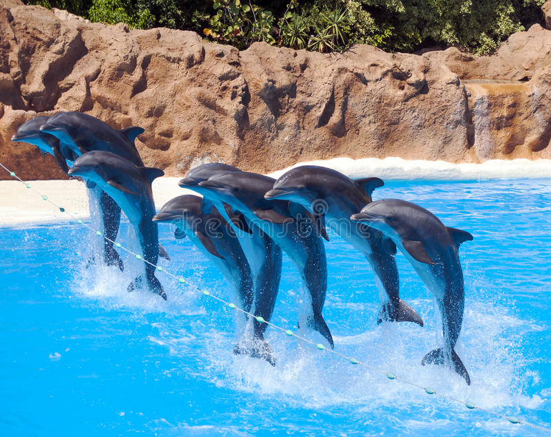 Eight dolphins jumping. Over a rope over the water royalty free stock photography
