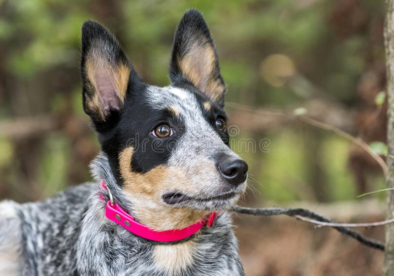 Cute Queensland Blue Heeler puppy outside on leash. Eight month old Blue Heeler Australian Cattle Dog female puppy, merle color, outside on leash. Dog rescue pet royalty free stock photos
