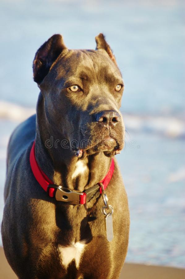 Eight month old cane corso italian mastiff. Cute cane corso Italian mastiff she is eight month old , its important due to tremendous changes from month to month royalty free stock images