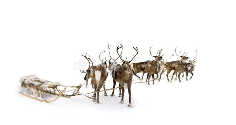 Download Eight reindeers stock image. Image of close, furry, deer - 12040009