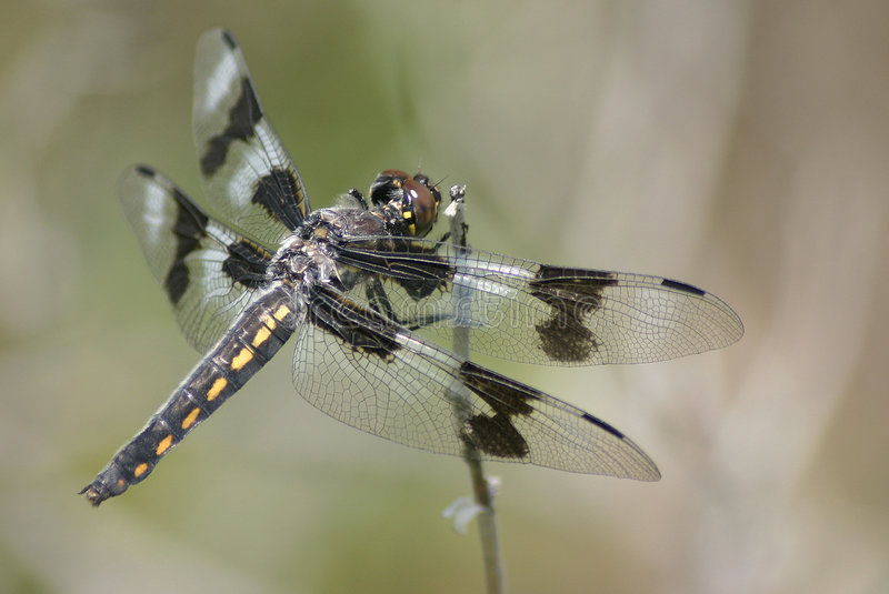 Eight-spotted Skimmer stock photos