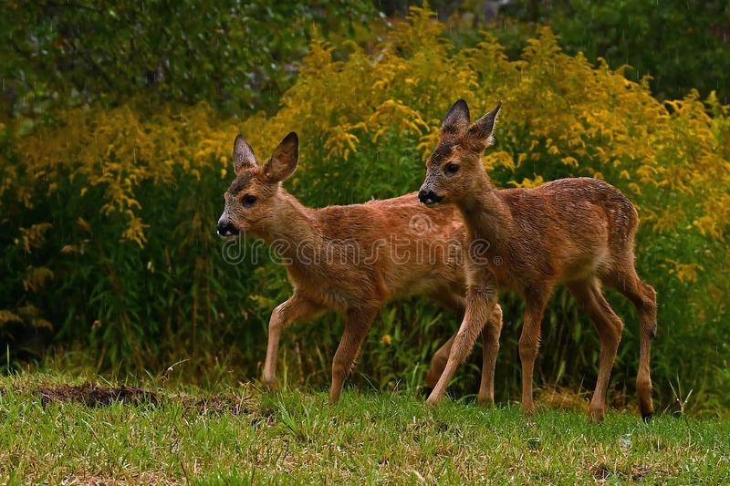 Eight weeks young wild Roe deer, Capreolus capreolus stock photos