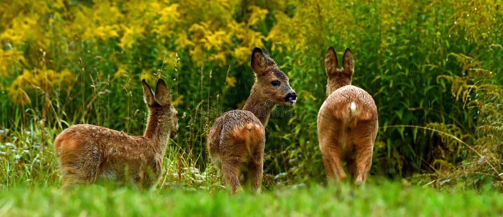 Eight weeks young wild Roe deer, Capreolus capreolus stock photography