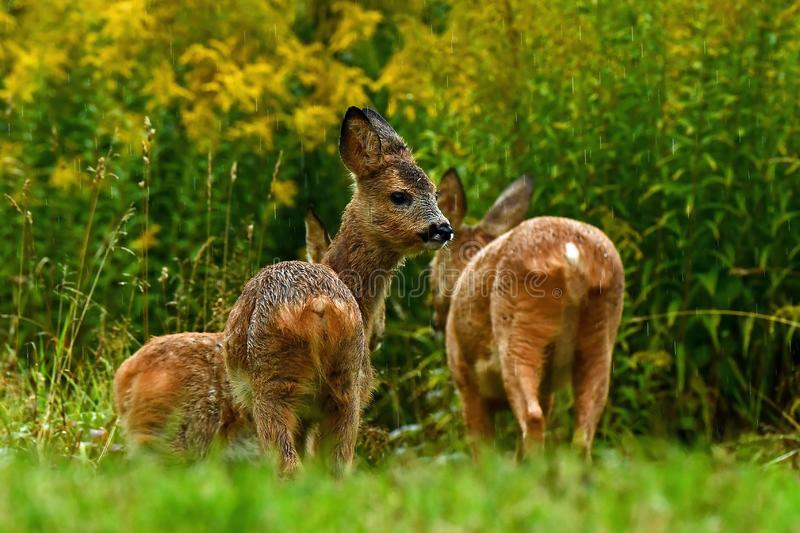 Eight weeks young wild Roe deer, Capreolus capreolus stock images