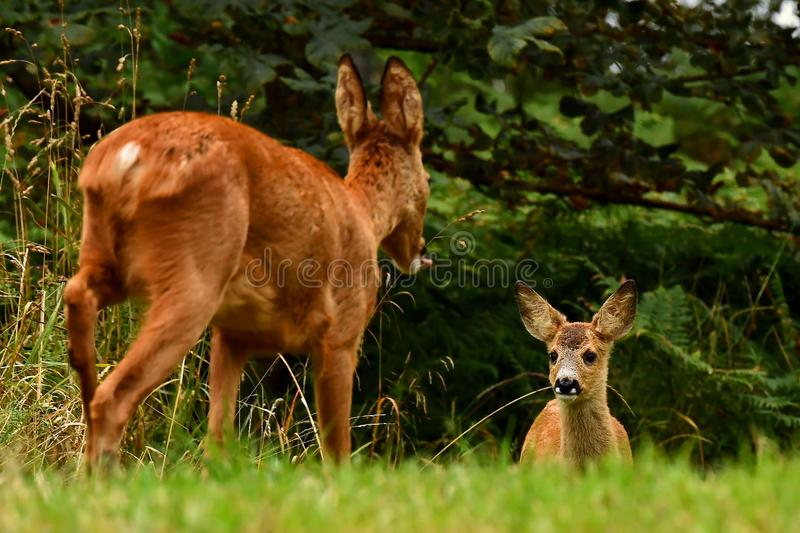 Eight weeks young wild Roe deer, Capreolus capreolus royalty free stock photo