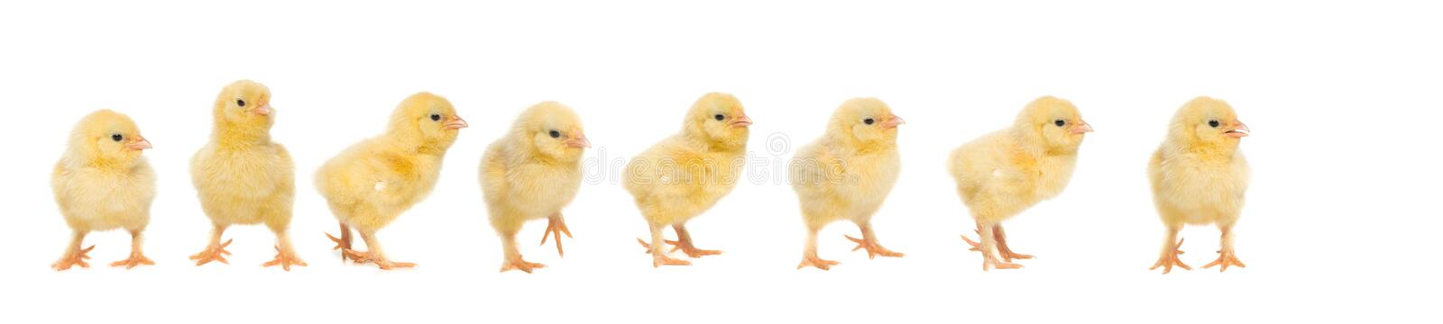 Download Eight Yellow Baby Chick Walking Behind Each Other Stock Photo - Image of behind, white: 95734340