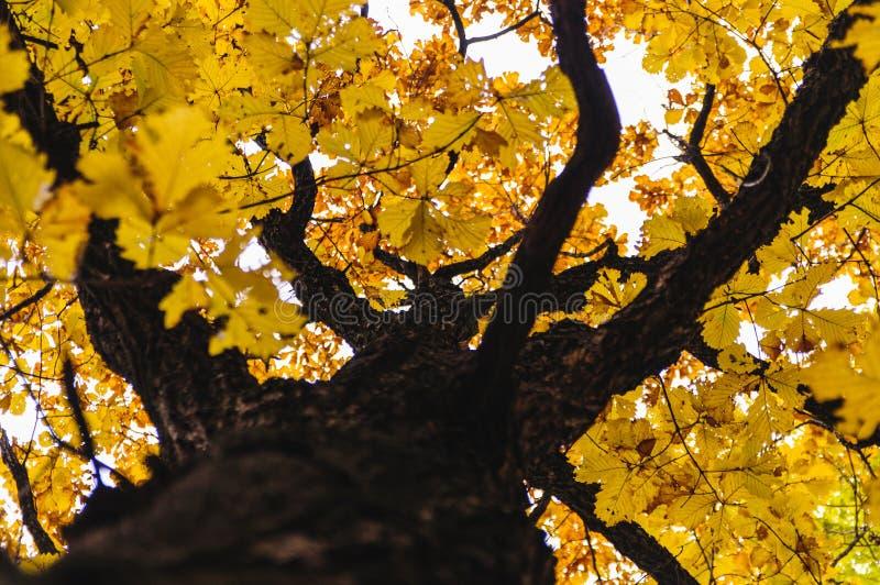 eik met geel gebladerte royalty-vrije stock fotografie