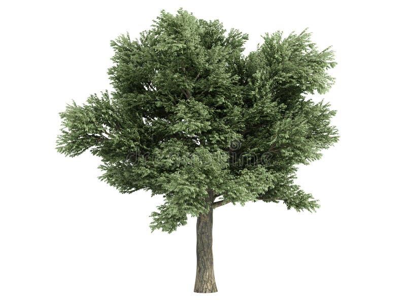 Eik (Quercus petraea) vector illustratie