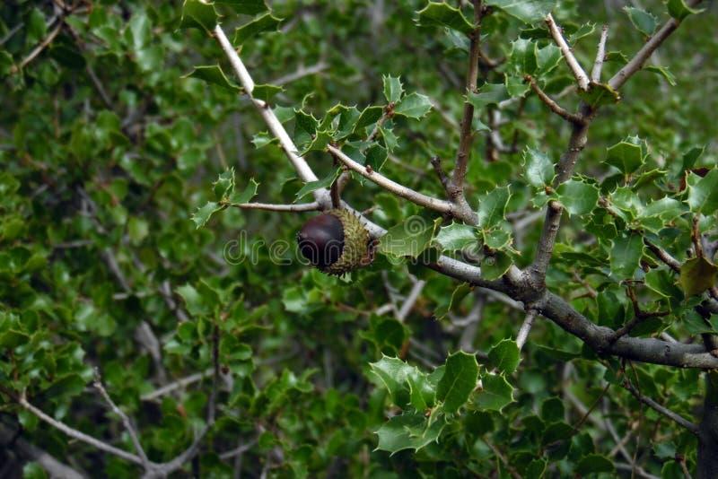 Eikel in holm eik, bos in Utiel, Spanje Groene bladboom met kleine bladeren Bruin fruit van Quercus faginea in Valencia stock foto