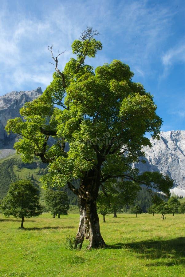 Eikelboom op bergweiland in de de zomerzon stock foto