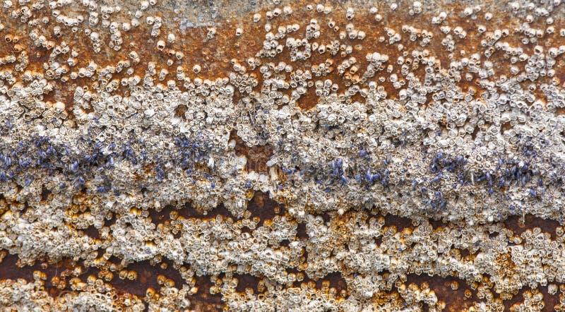 Eikeleendenmosselen in bijlage aan schil van roeiboot stock afbeelding