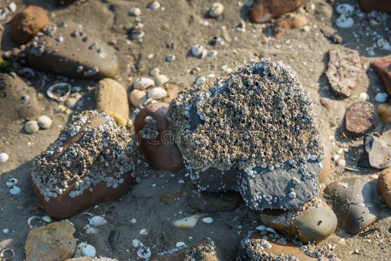 Eikeleendenmosselen op een steen van het sluiten royalty-vrije stock fotografie