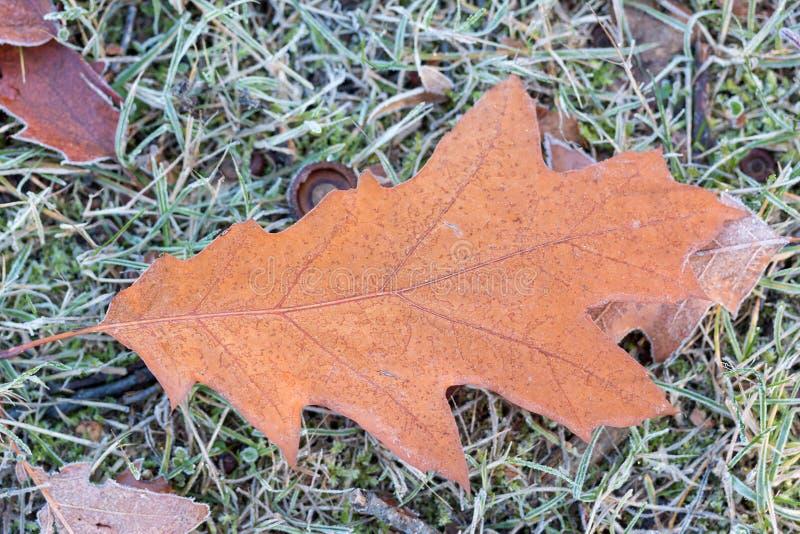 Eiken blad op een bevroren weide stock fotografie