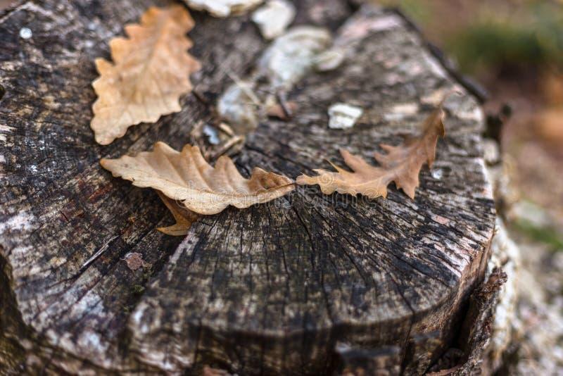 Eiken bladeren op de oude stomp in de herfst royalty-vrije stock fotografie
