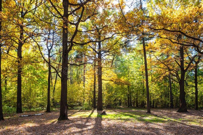 eiken bomen bij bosdieopen plek door zon in de herfst wordt aangestoken royalty-vrije stock afbeeldingen