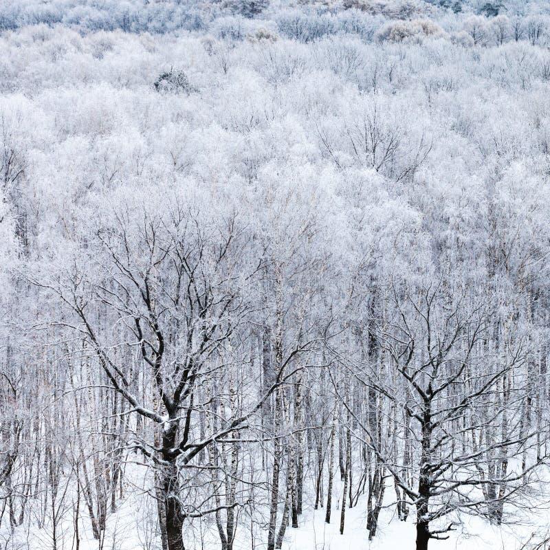 Eiken bomen in bos in sneeuw in koude de winterdag stock afbeelding
