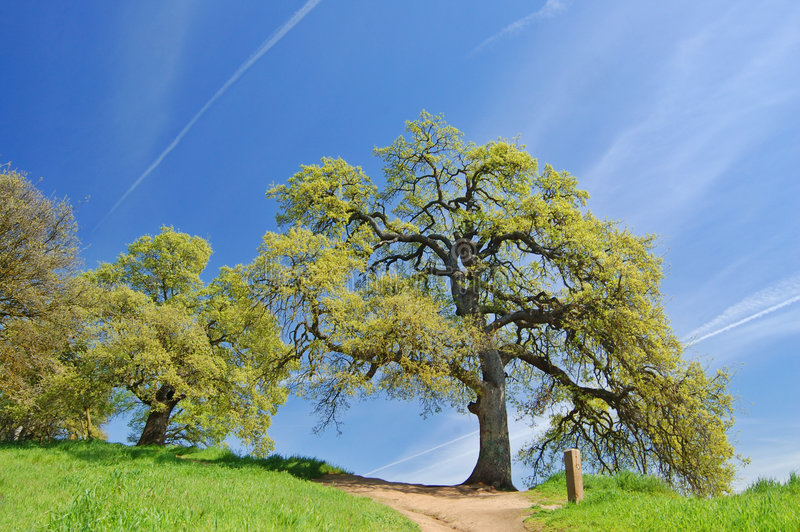 Eiken Bomen in de lente royalty-vrije stock foto's