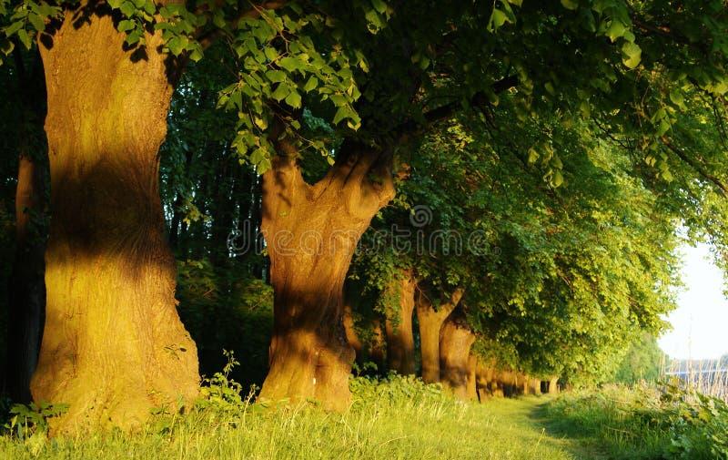 Eiken bomen in een rij royalty-vrije stock afbeeldingen