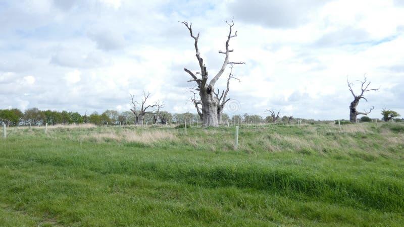 Eiken Bomen, Oud, Van angst verstijfd Forest Maldon royalty-vrije stock fotografie