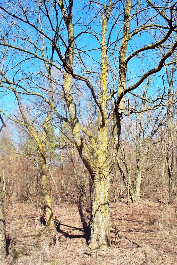 Eiken bomen in zonlicht in de open plek met droge bladeren op de rand van het bos stock foto's