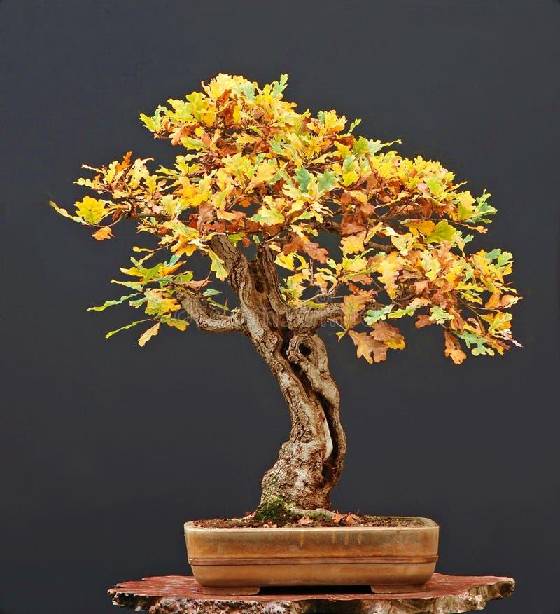 Eiken bonsai in daling stock foto