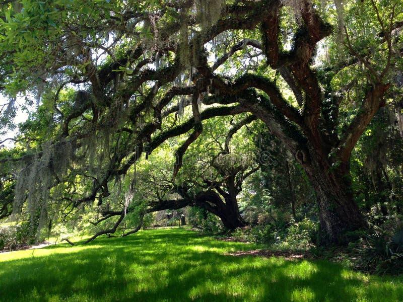 Eiken boom bij een aanplanting in Charleston, Zuid-Carolina stock fotografie