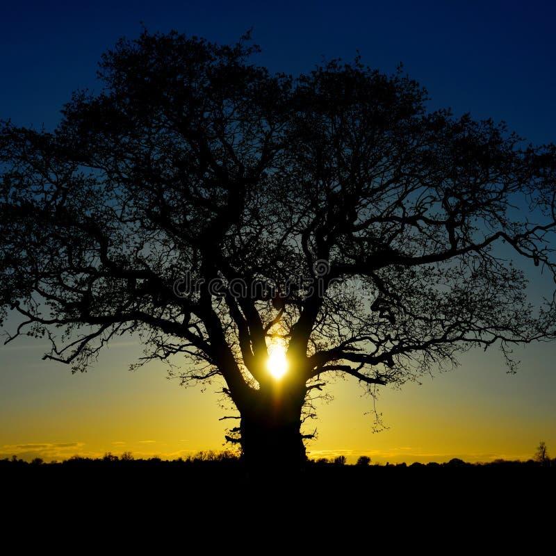 Eiken boom bij zonsondergang stock afbeeldingen