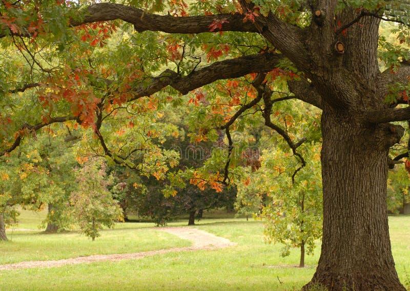 Eiken boom in de herfst het plaatsen stock foto's