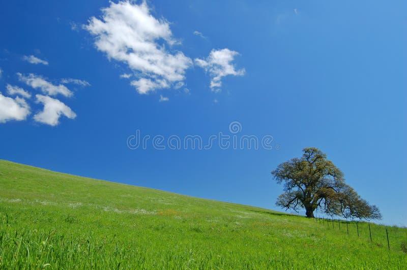 Eiken boom in de lente stock foto